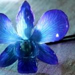 dendrobium-blau-2