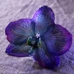 phalanopsis-lila